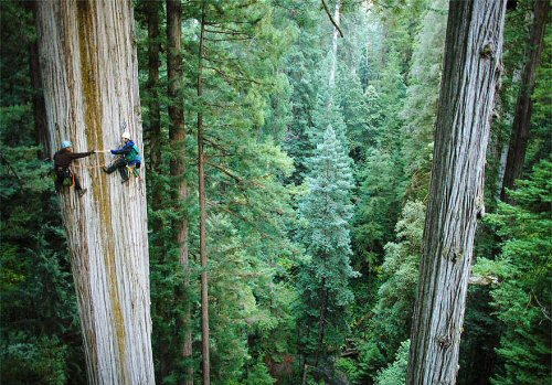 500 16 Redwood tree climbing