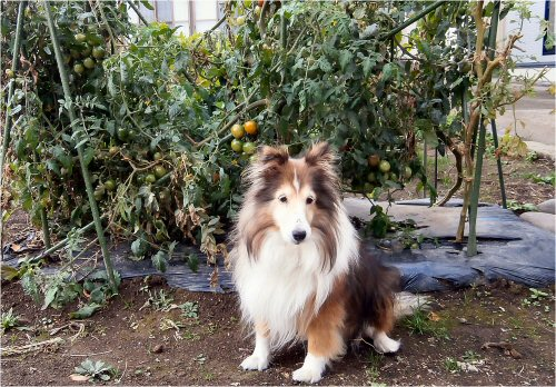 04b500 20151028 Tomatoes Erie
