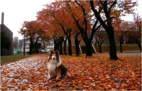 02 500 20151111 桜並木紅葉の川 Erie