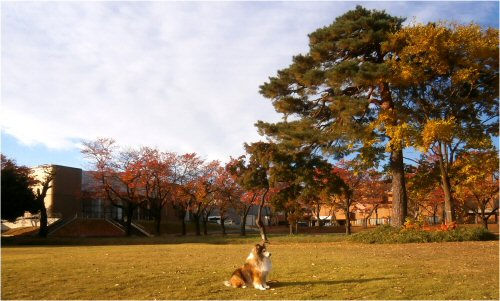 03 500 20151112 芝生公園、桜並木:紅葉 Erie