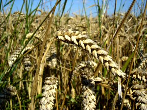 01 300 wheat