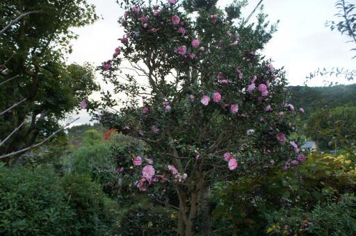 ピンクの山茶花1
