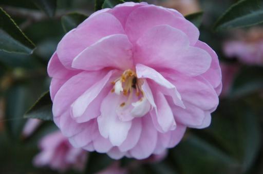 ピンクの山茶花2