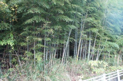荒れた竹林1