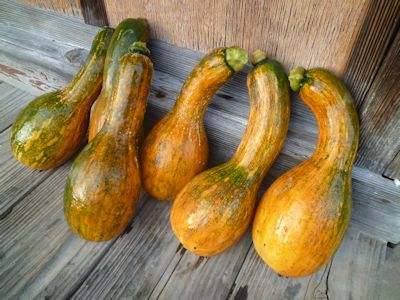 かぼちゃ大豊作