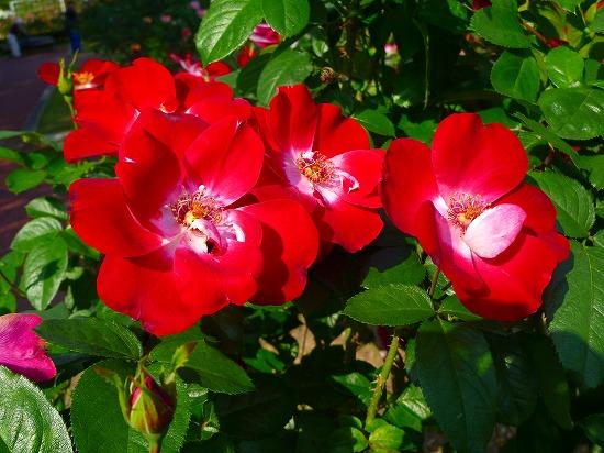 15,10,20 薔薇 (9)