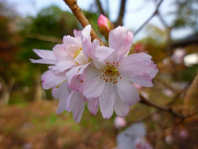 15,11,21 十月桜