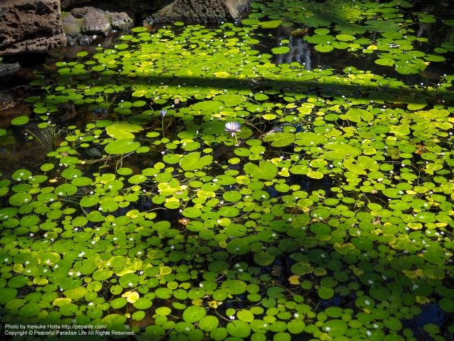 ハワイアンな池