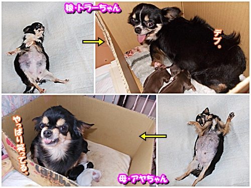 chiwawaoyako.jpg