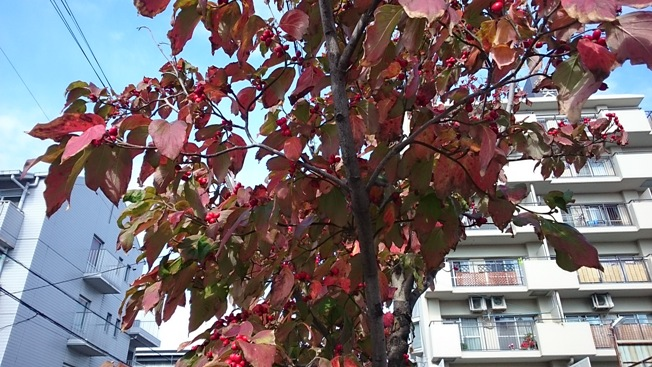 八尾街路樹/ハナミズキの実