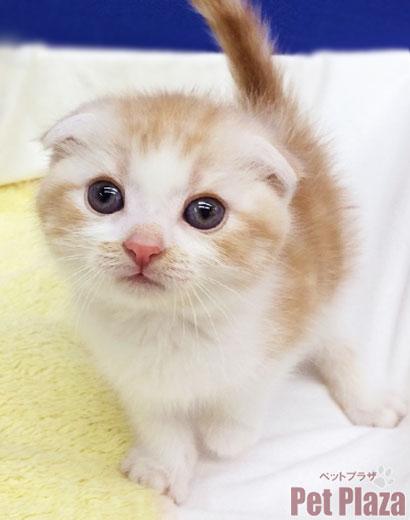 スコティッシュ 子猫 大阪府 泉南