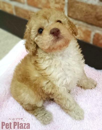 トイプードル クリーム 子犬 大阪 泉南