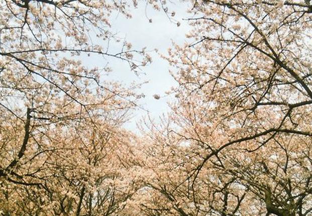 手賀沼の桜が良い感じになってました