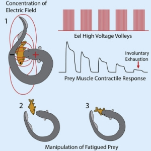 Electric Field of Electrophorus electricus