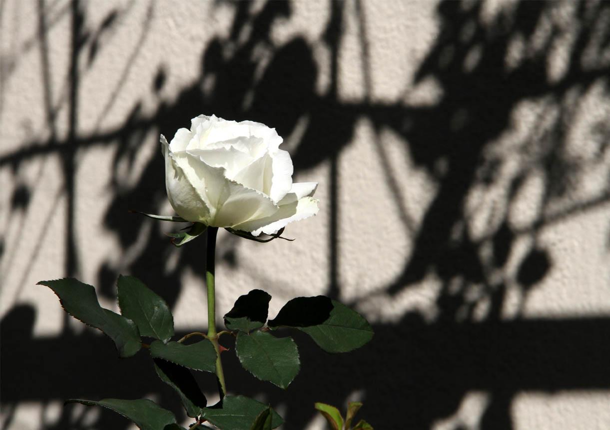 11月3日のバラ (1)