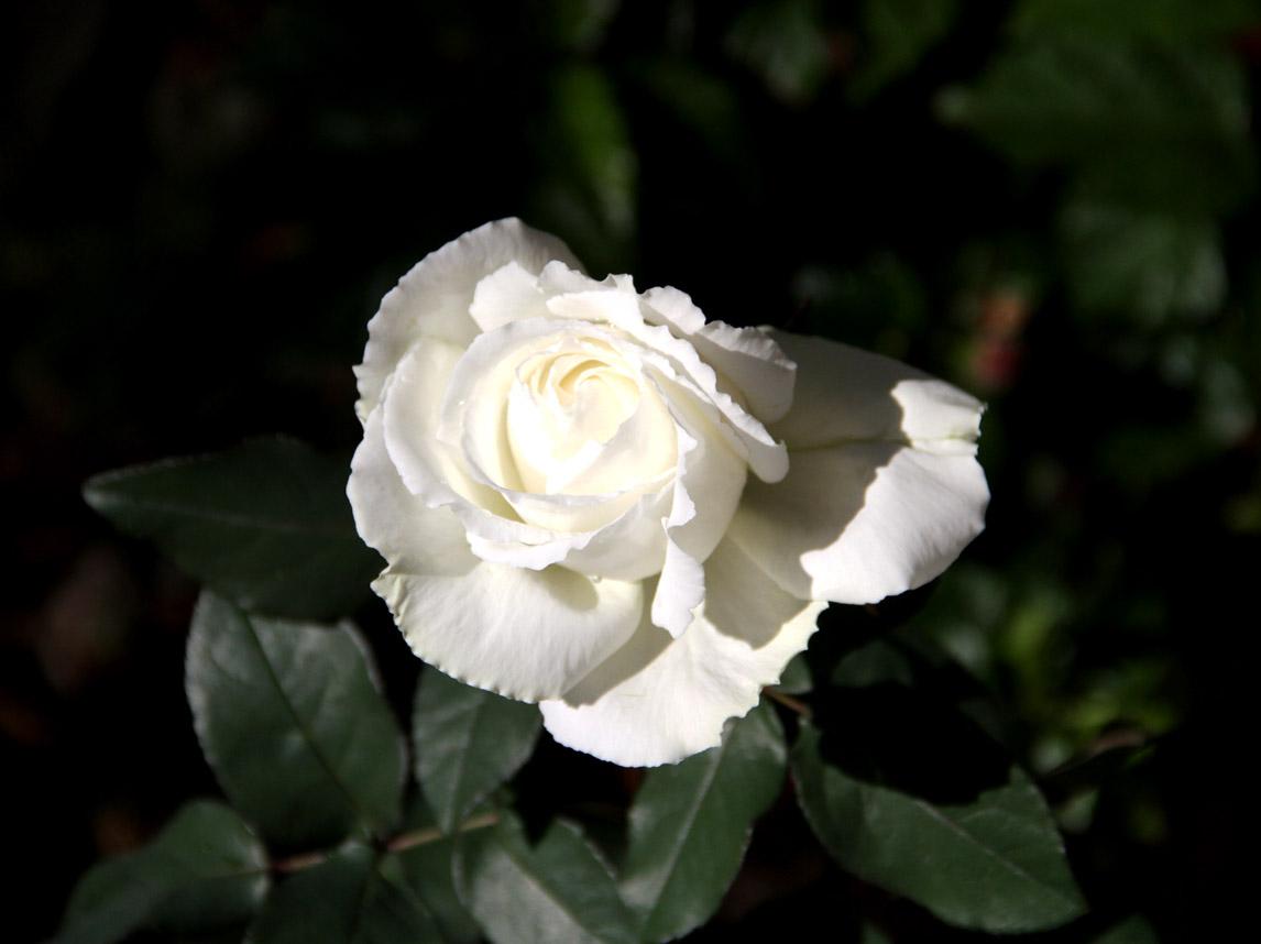 11月3日のバラ (2)