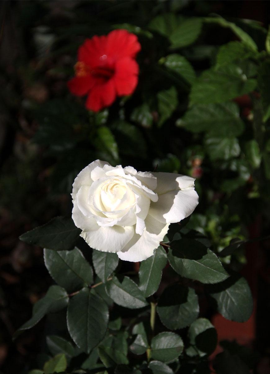 11月3日のバラ (3)