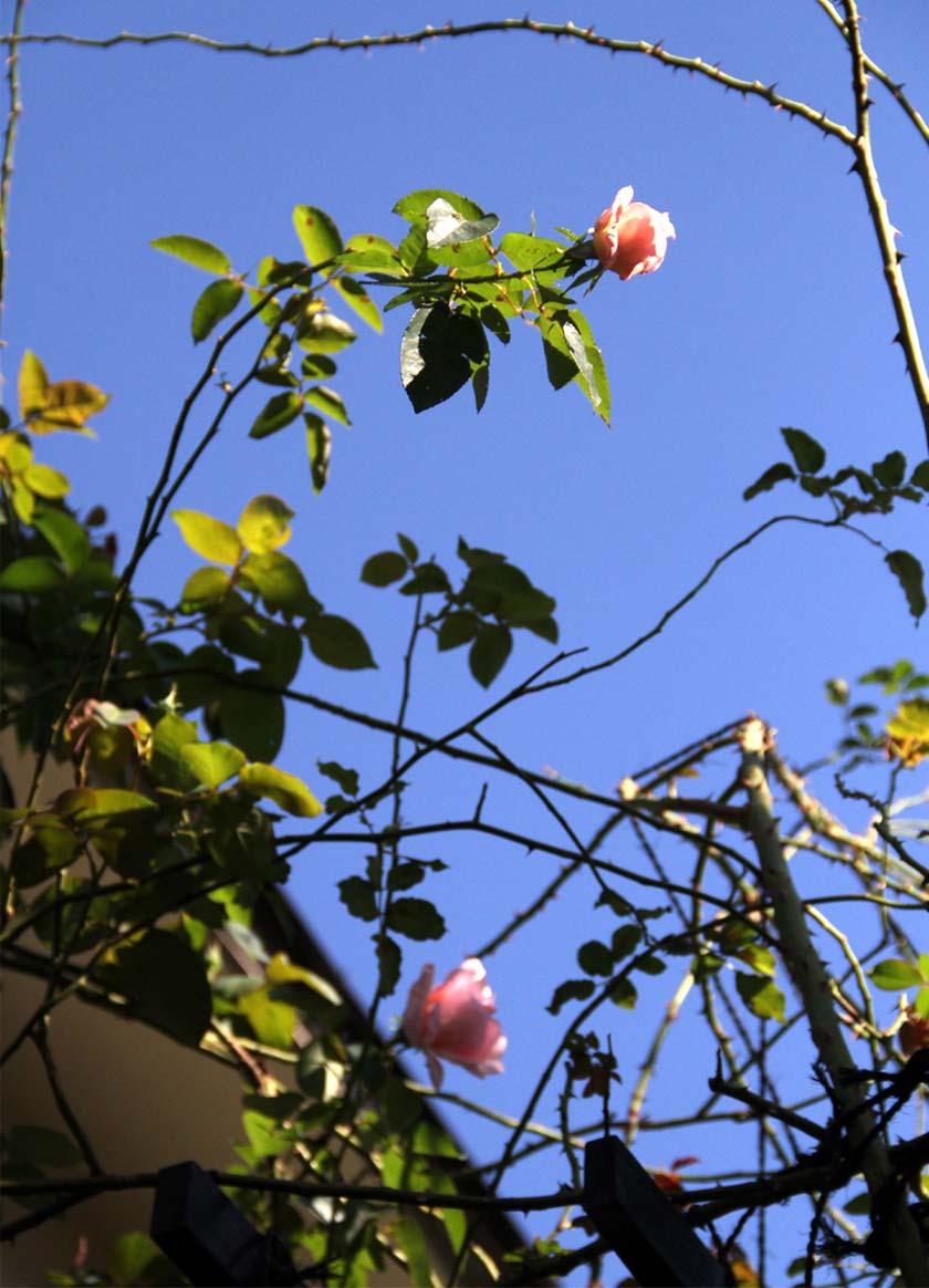11月3日のバラ (4)