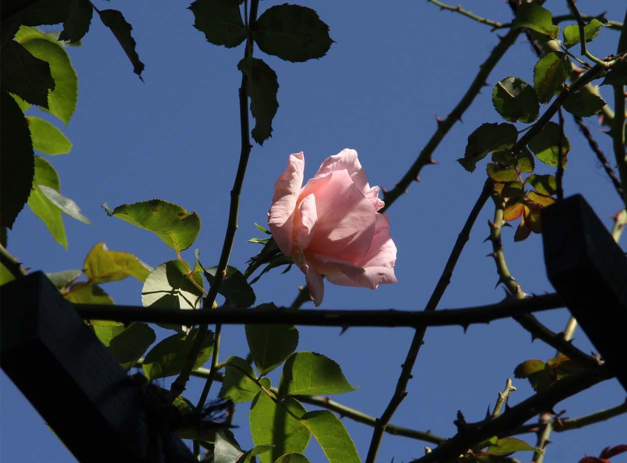 11月3日のバラ (5)