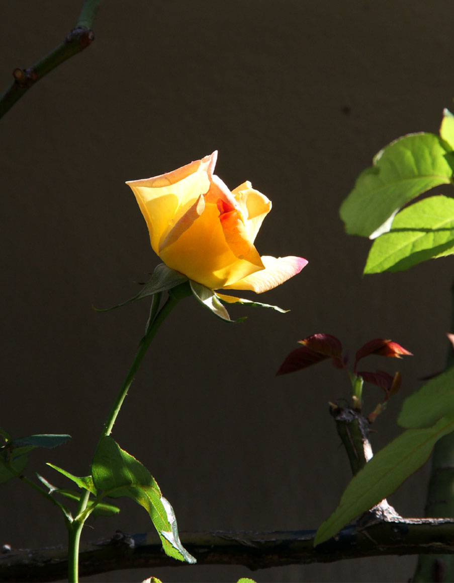 11月3日のバラ (6)