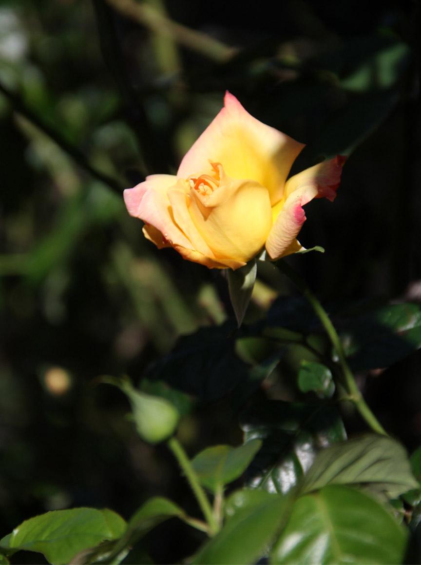 11月3日のバラ (7)