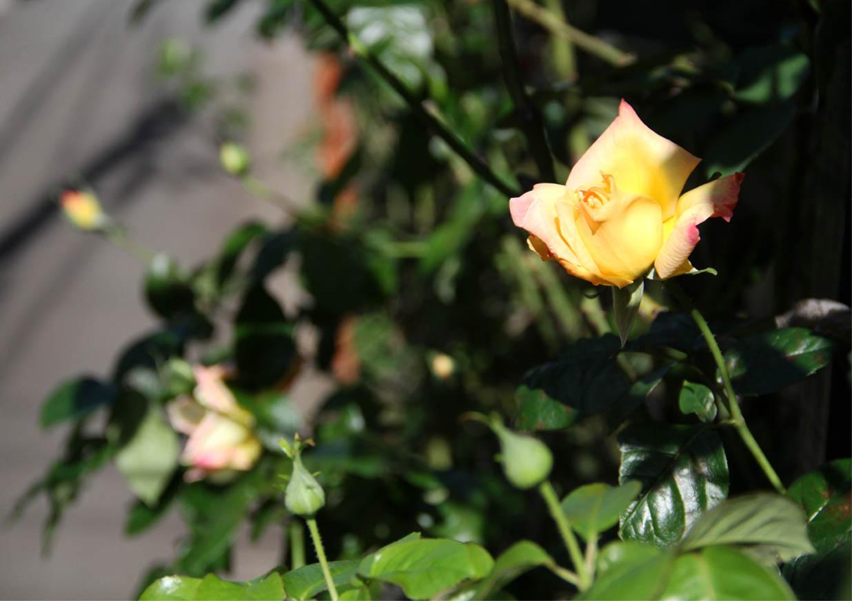 11月3日のバラ (8)