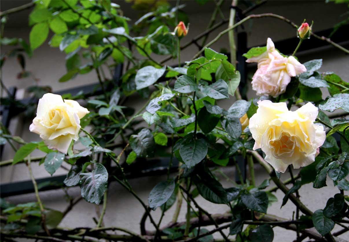 11月9日のバラ (1)