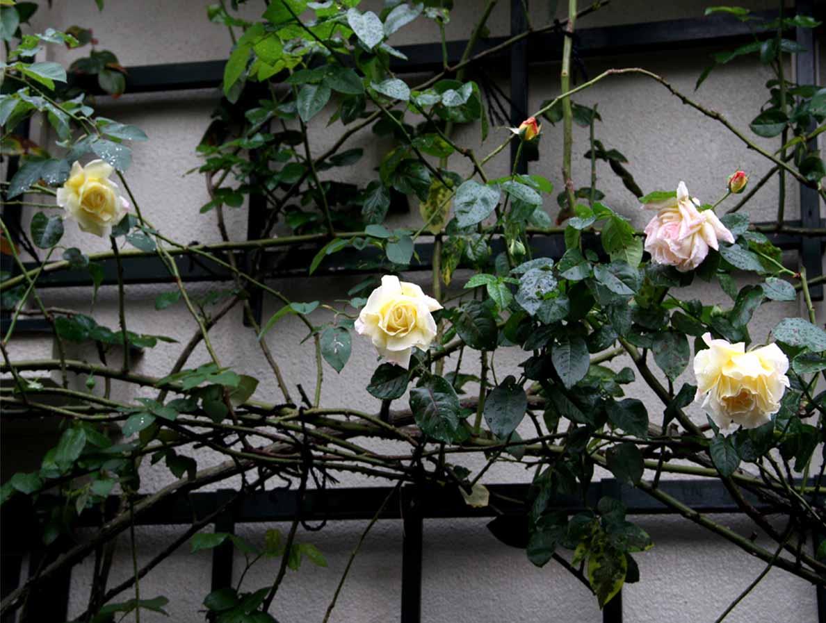 11月9日のバラ (2)