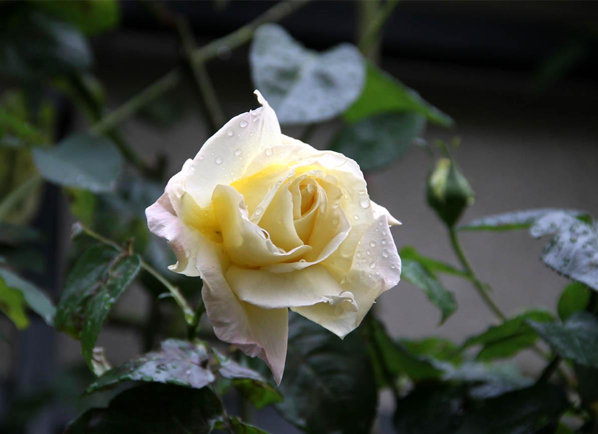 11月9日のバラ (3)