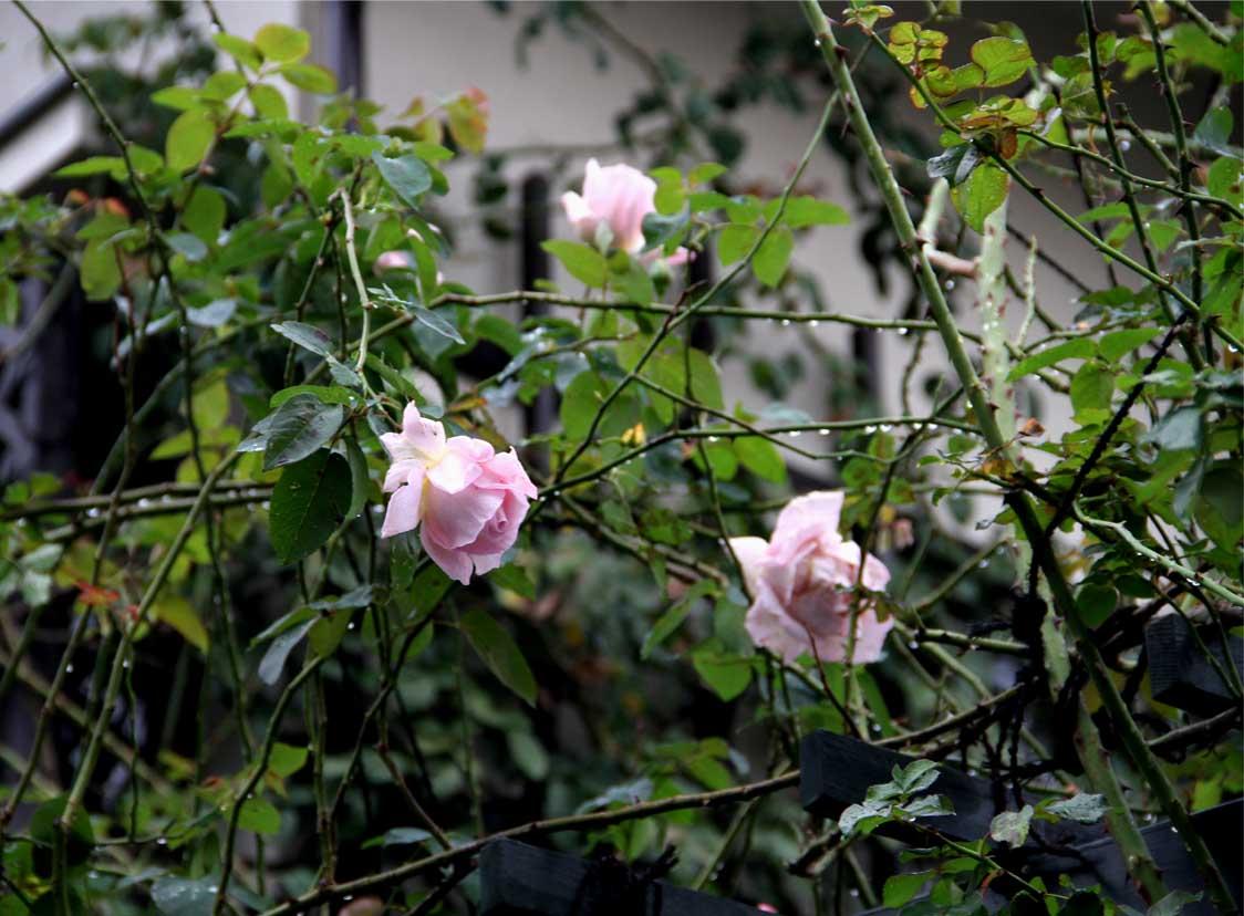 11月9日のバラ (4)