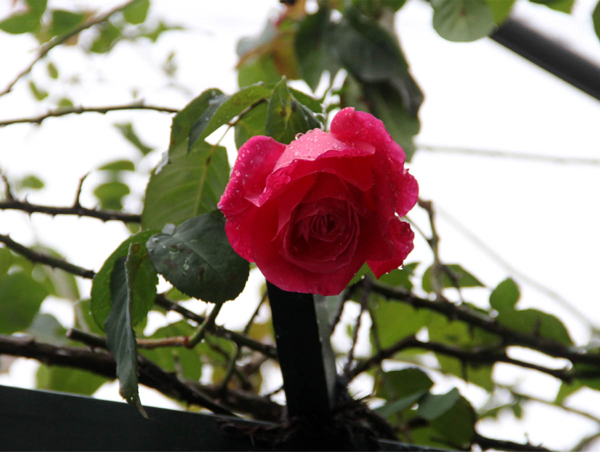 11月9日のバラ (7)