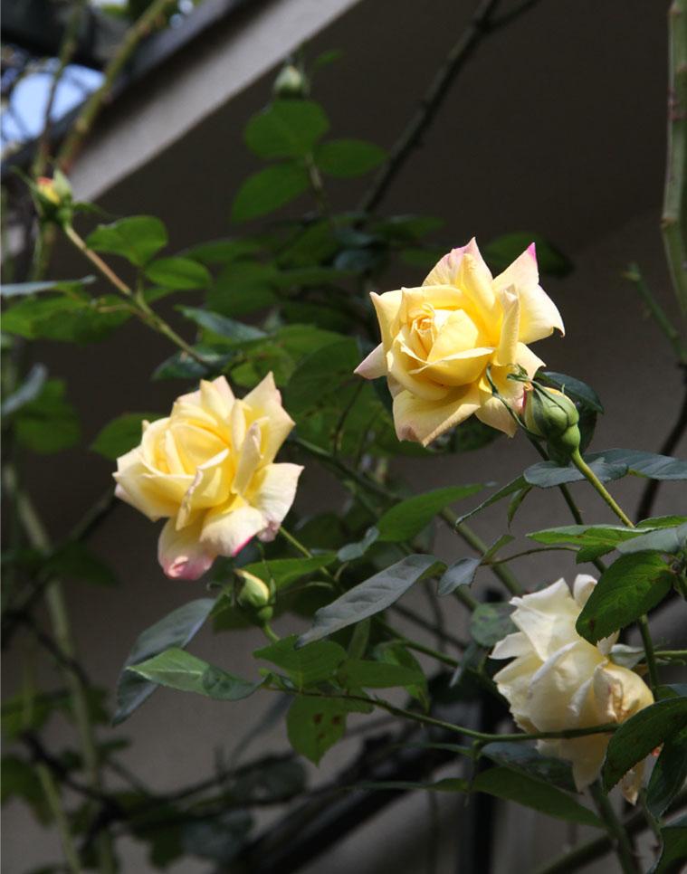 11月11~12日のバラ (14)