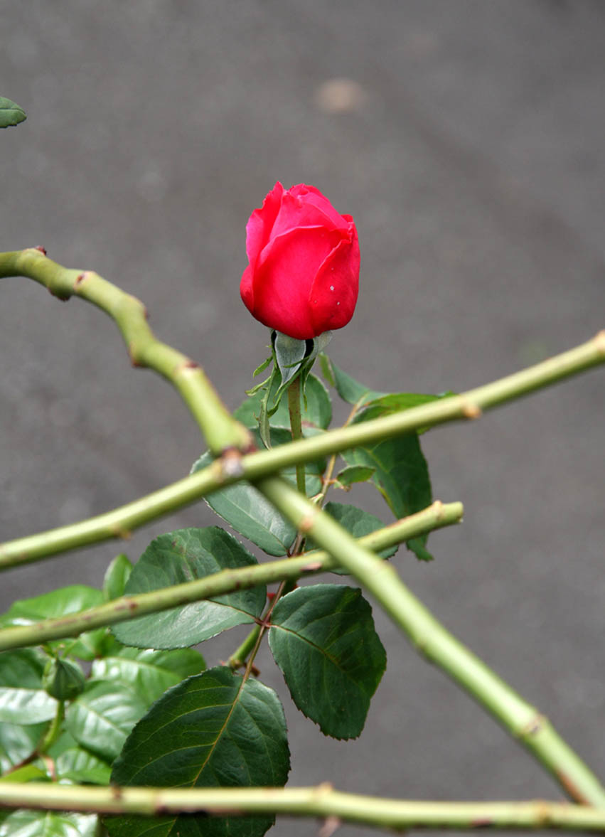 11月11~12日のバラ (20)