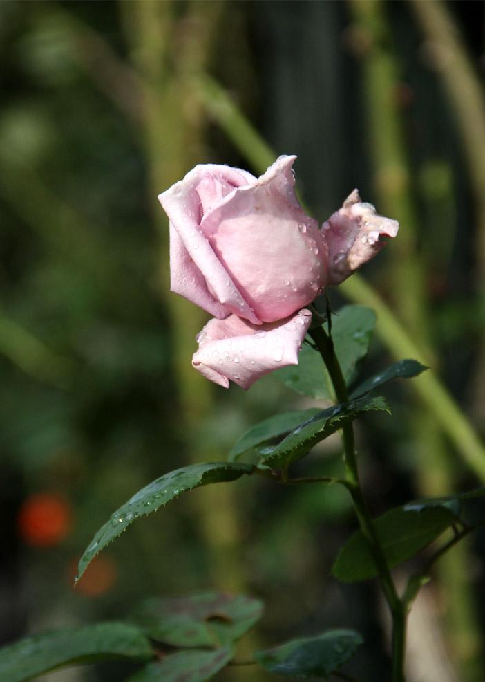 11月17~18日のバラ (2)
