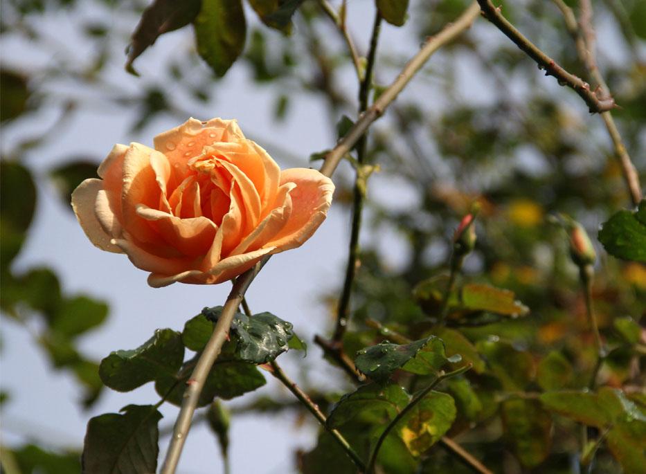 11月17~18日のバラ (4)