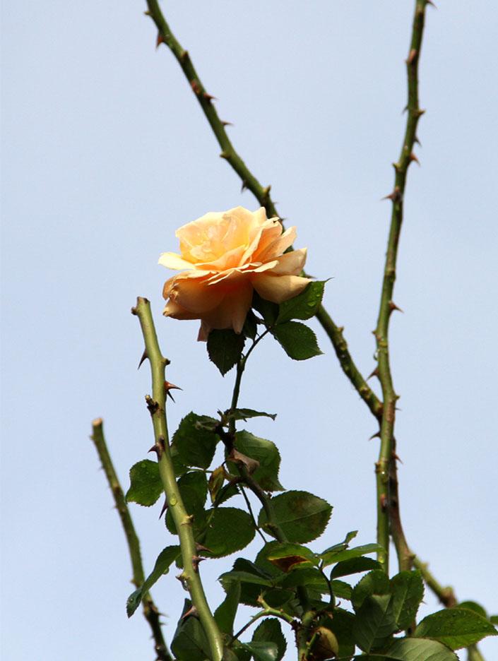11月17~18日のバラ (6)