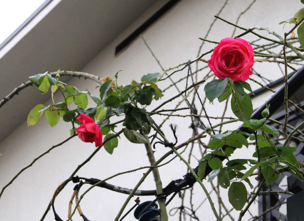 11月17~18日のバラ (9)