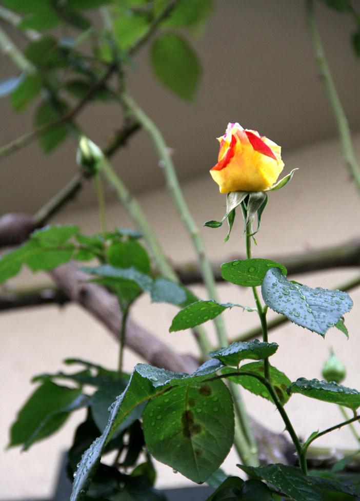 11月17~18日のバラ (11)