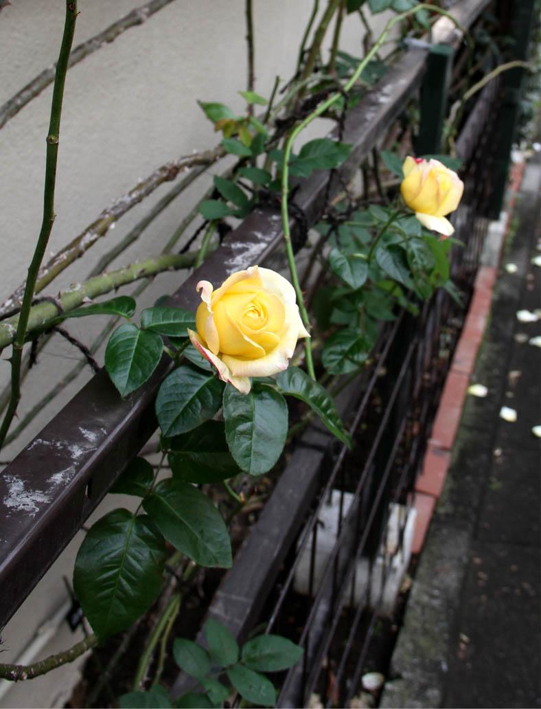11月17~18日のバラ (13)