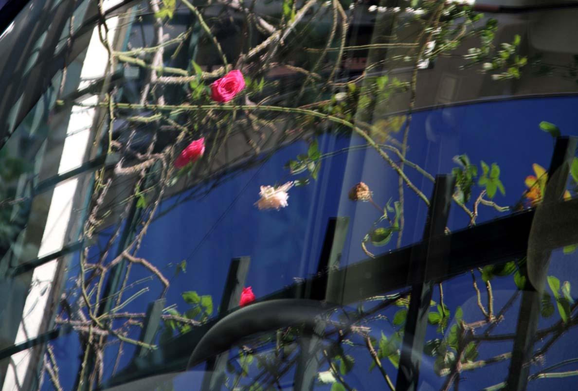 11月27日のバラ (1)