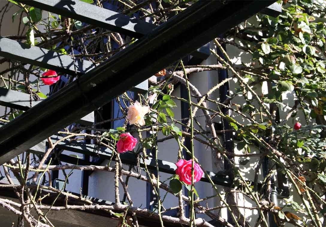11月27日のバラ (2)