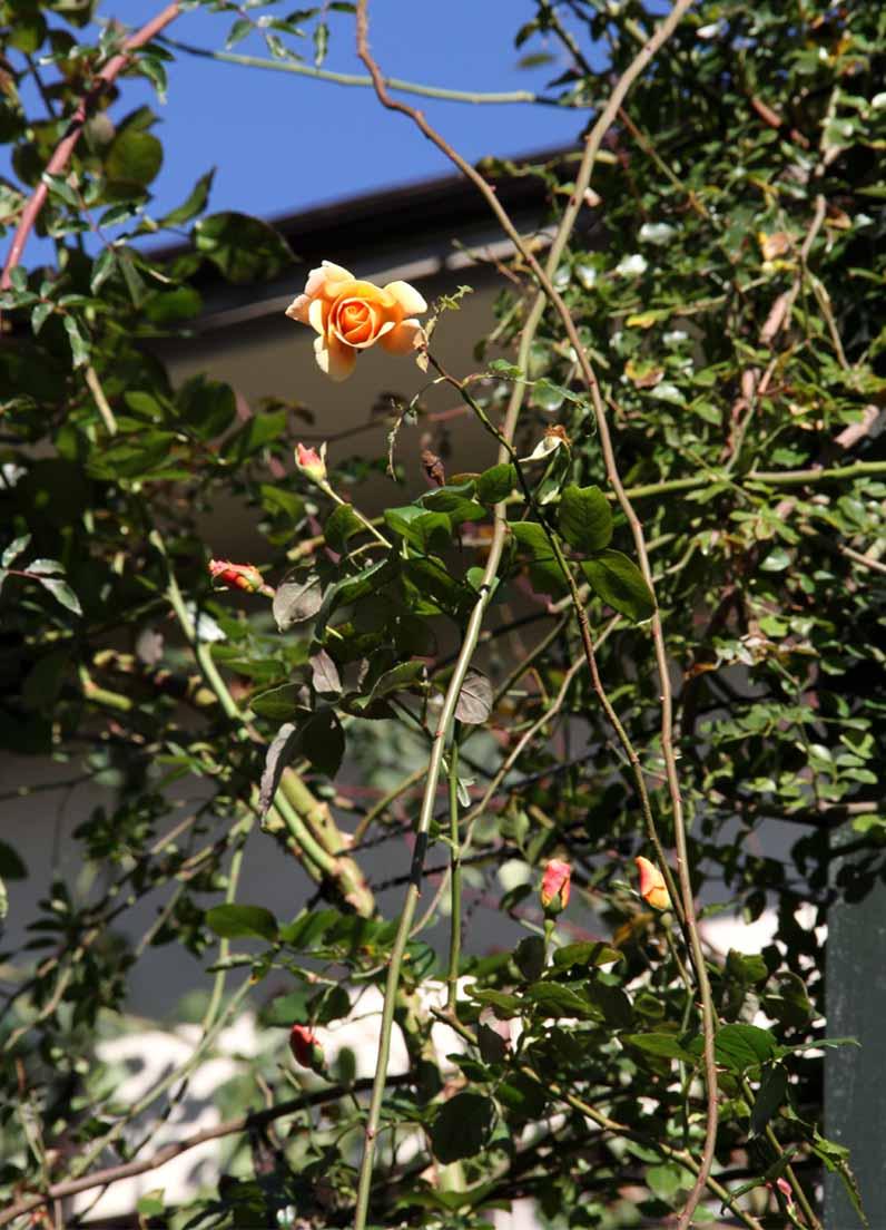 11月27日のバラ (7)