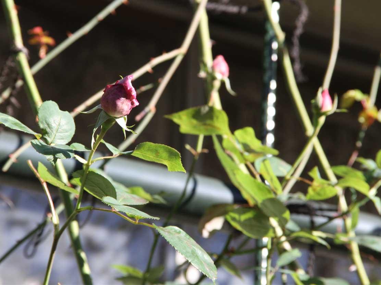 11月27日のバラ (8)
