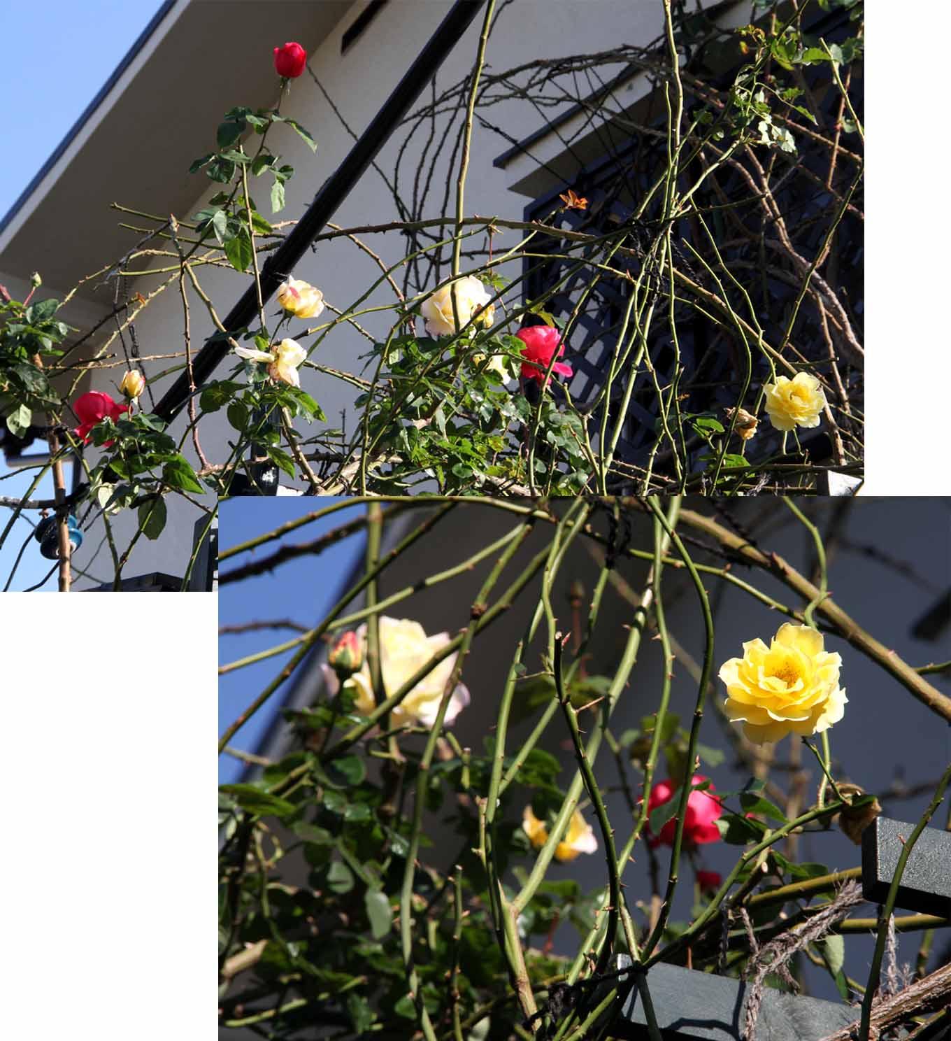 12月4~7日のバラ模様(1)