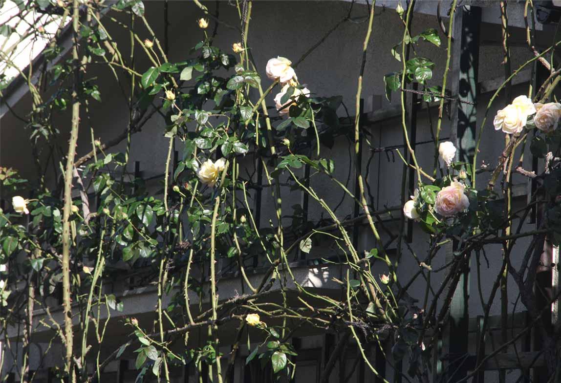 12月4~7日のバラ模様(3)