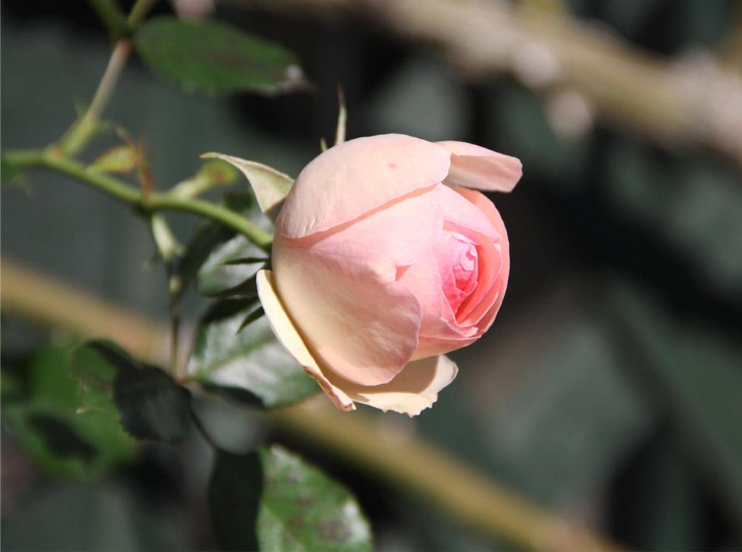 12月4~7日のバラ模様(5)