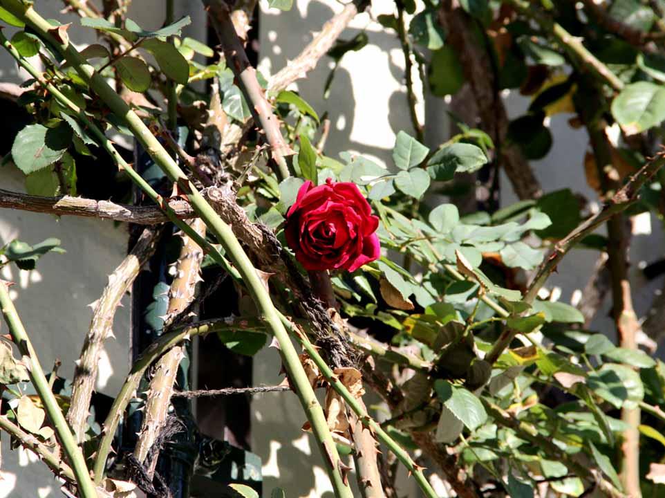 12月4~7日のバラ模様(10)
