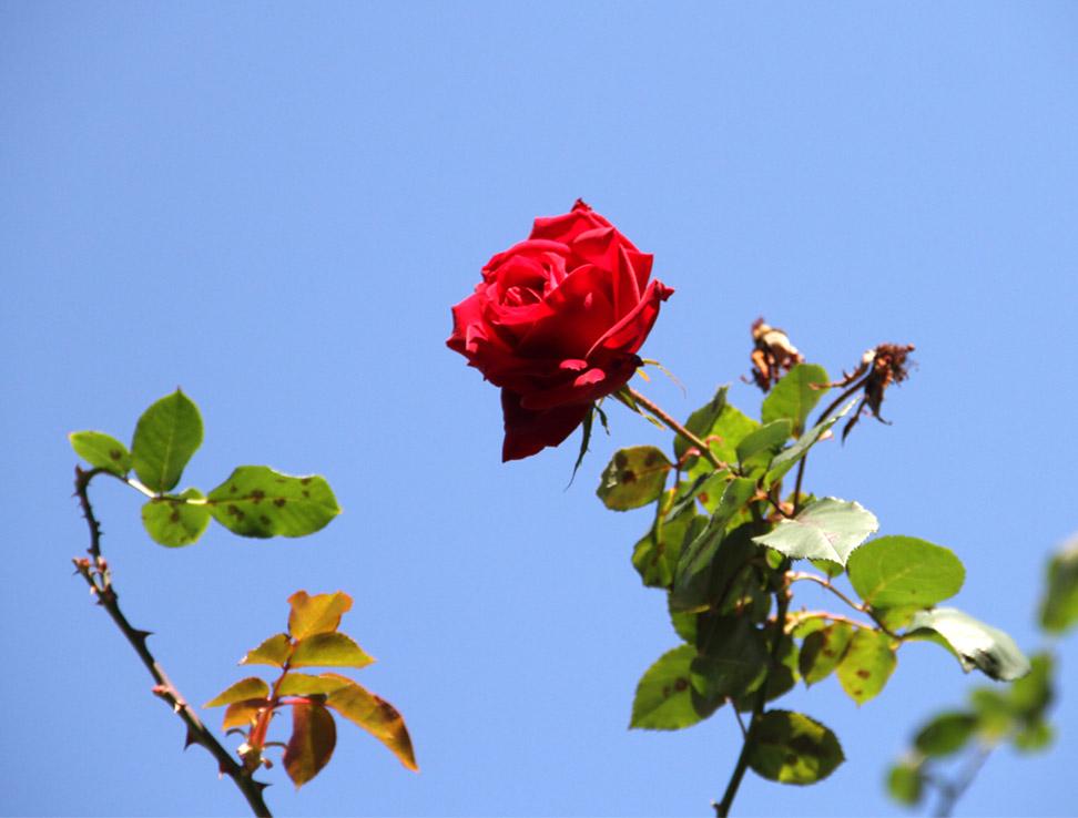 12月4~7日のバラ模様(11)