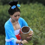 中国で昔ながらの茶摘を再現するため茶摘娘がセクシー衣装