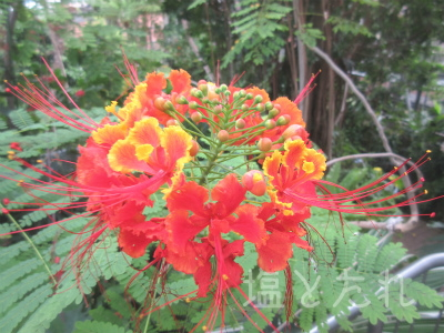 IMG_2154オウゴチョウ_20151021_01_夢の島熱帯植物館